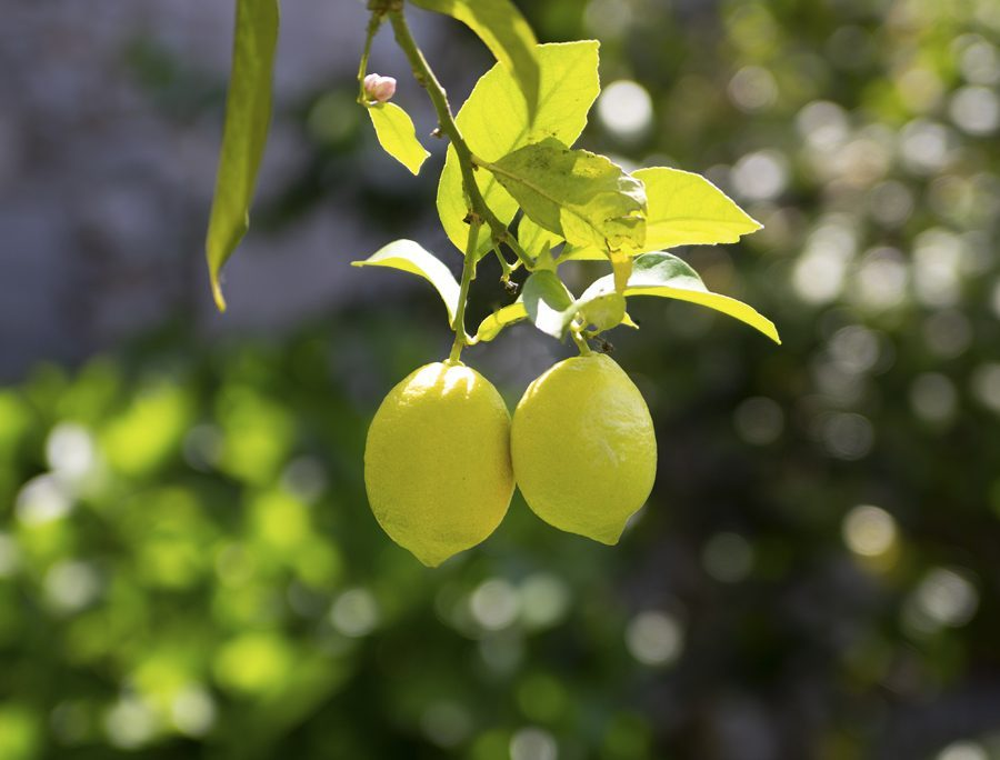Dos limones colgando del limonero